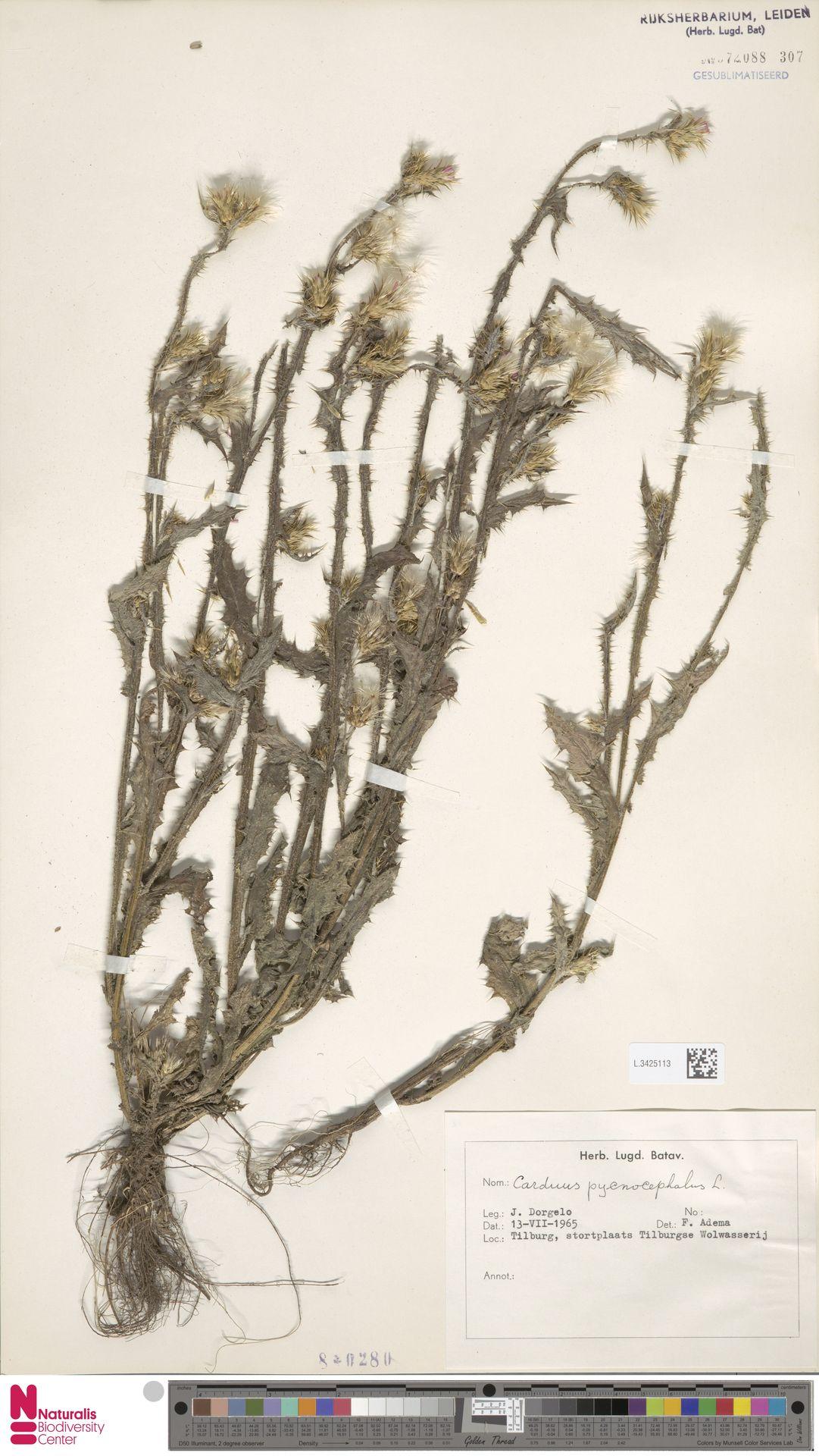 L.3425113 | Carduus pycnocephalus L.