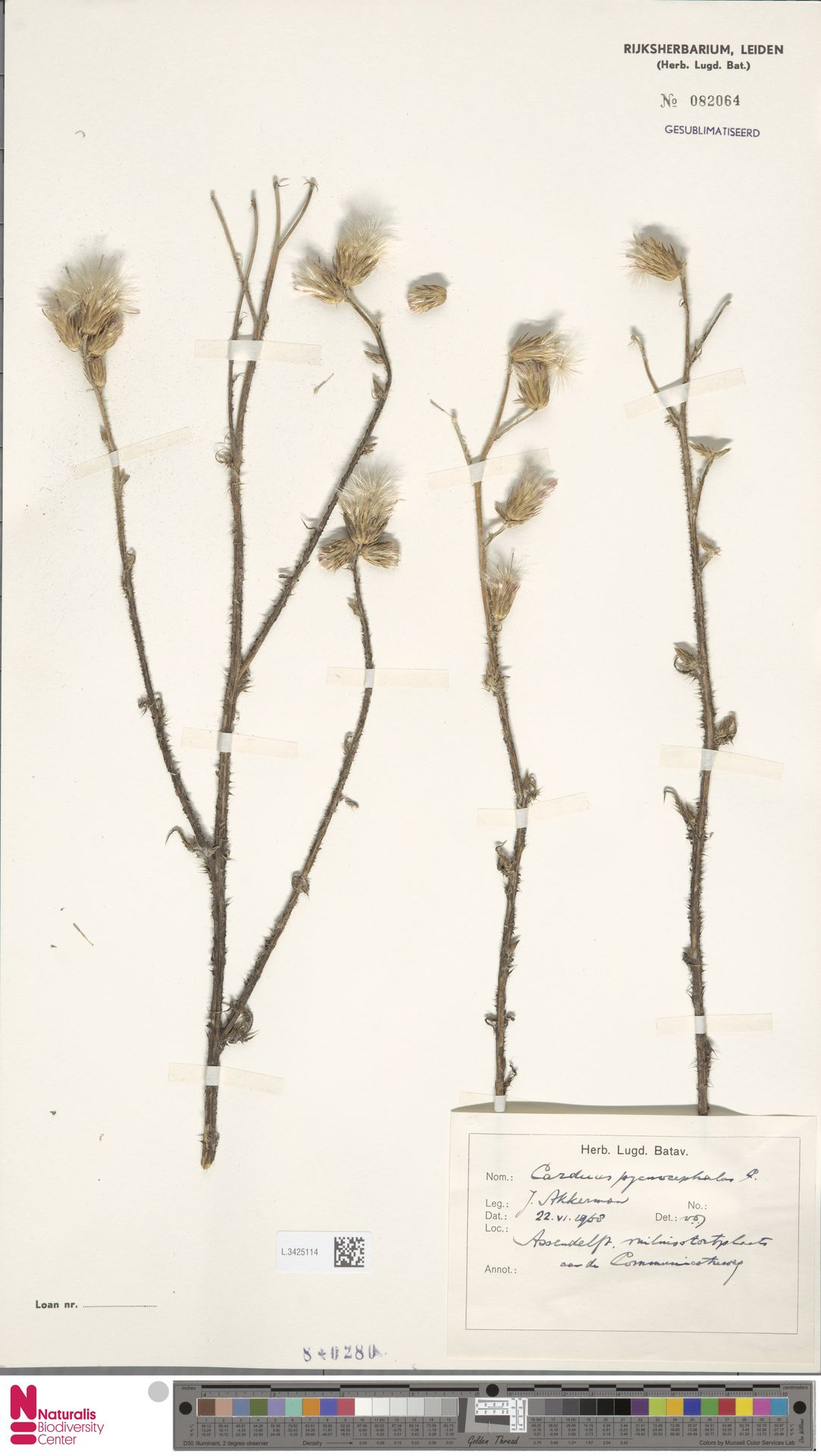 L.3425114 | Carduus pycnocephalus L.