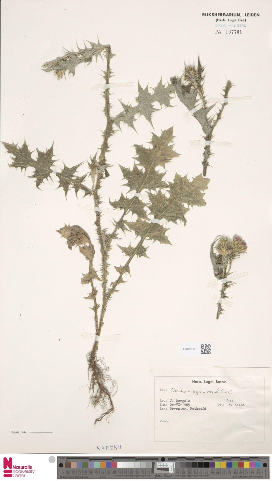 L.3425115 | Carduus pycnocephalus L.