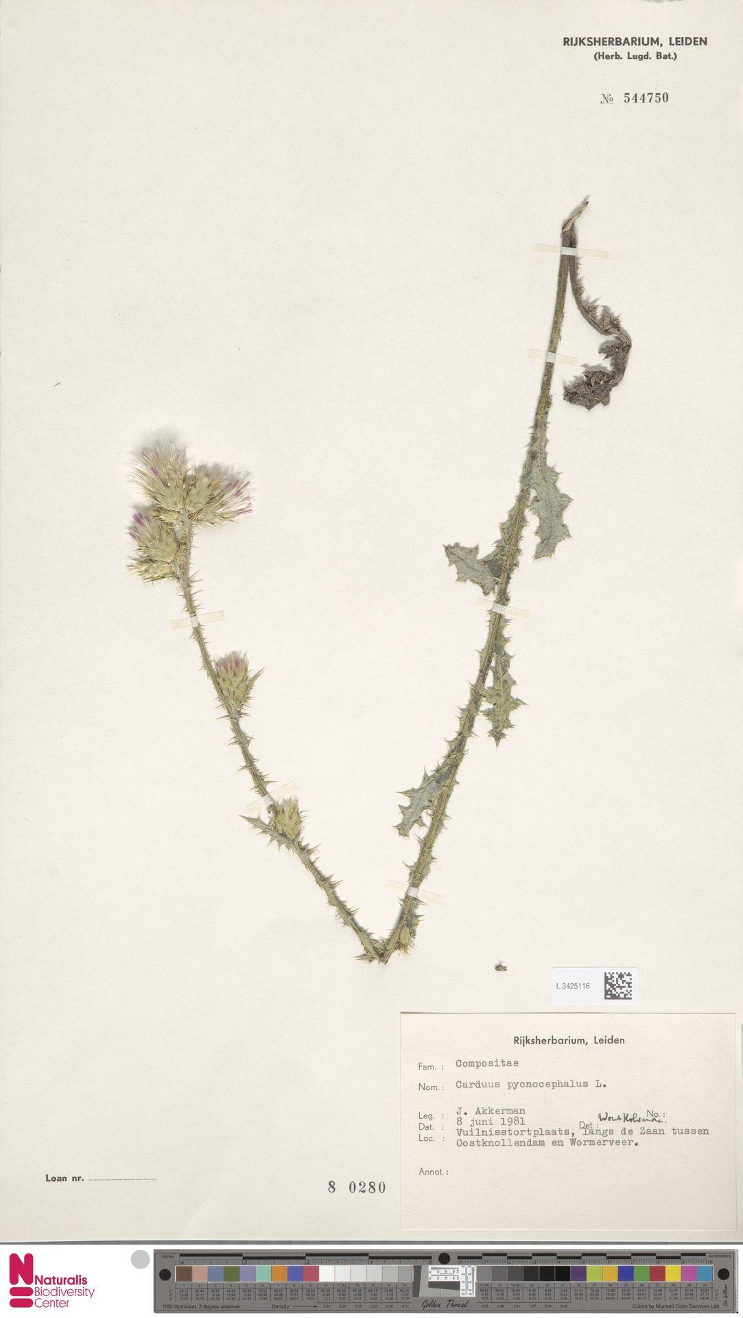 L.3425116 | Carduus pycnocephalus L.