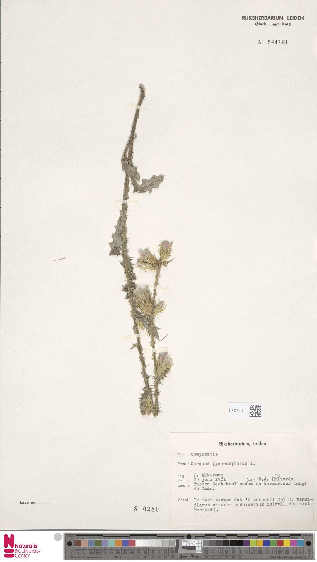 L.3425117 | Carduus pycnocephalus L.