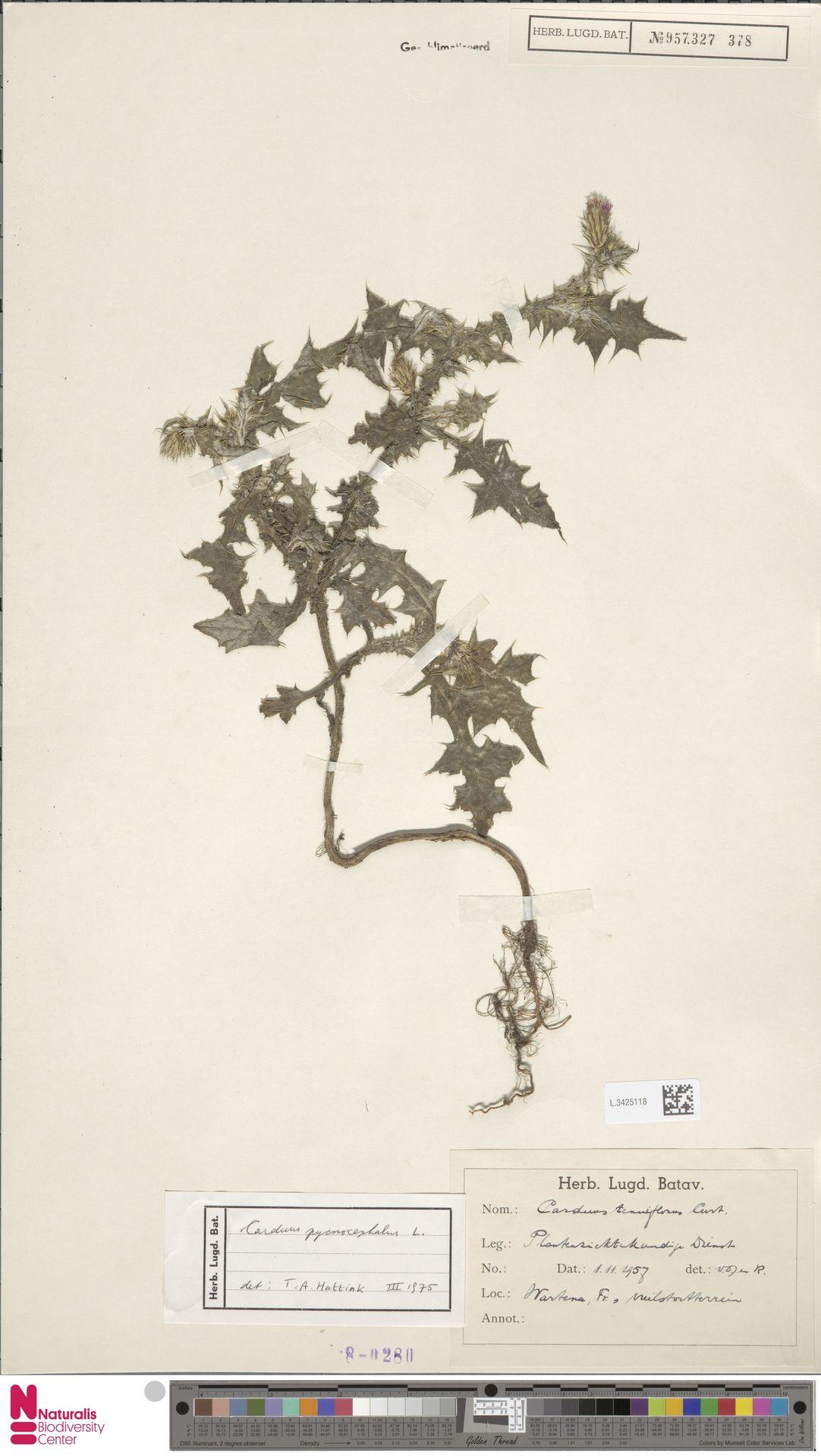 L.3425118 | Carduus pycnocephalus L.