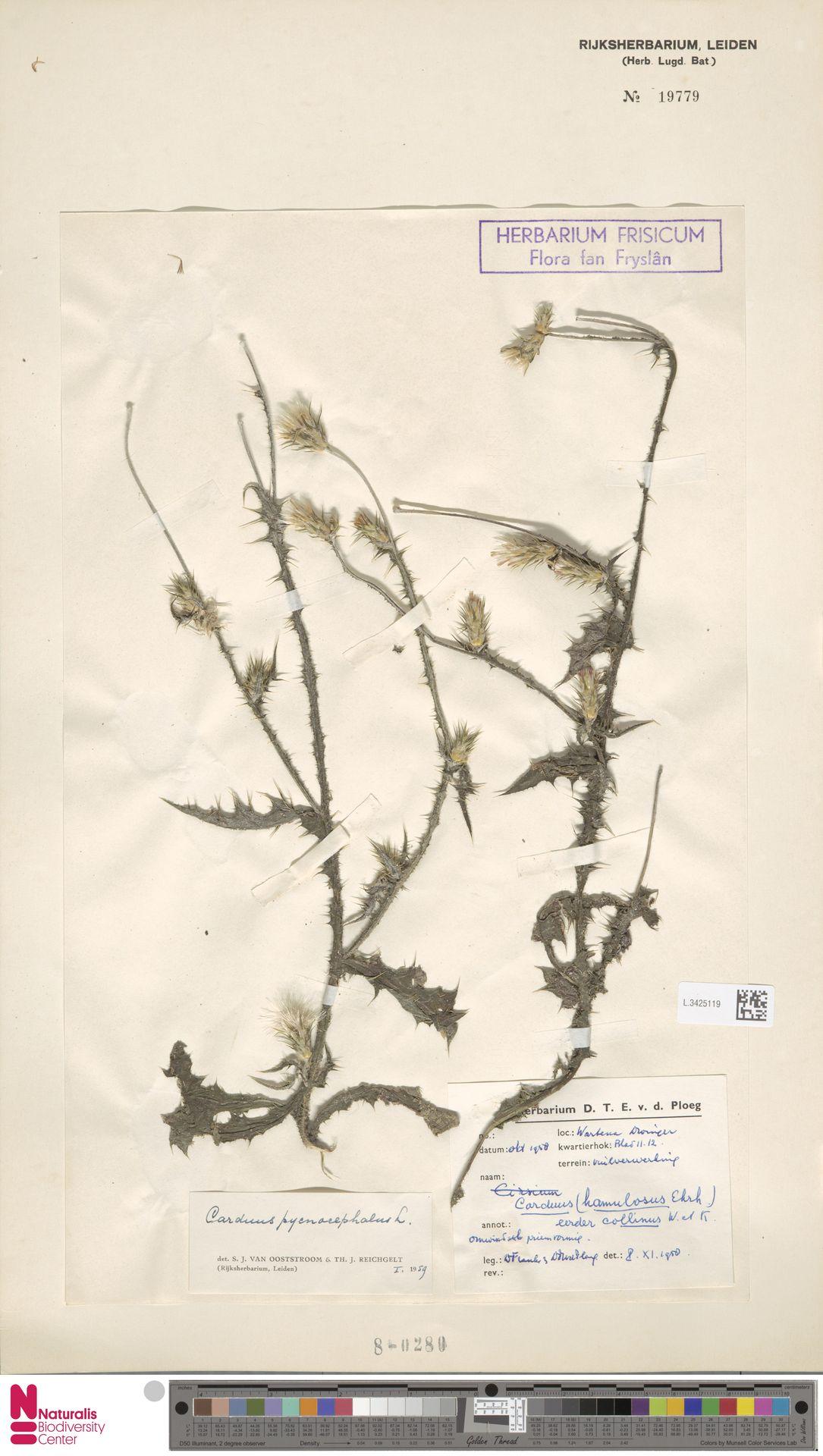 L.3425119 | Carduus pycnocephalus L.