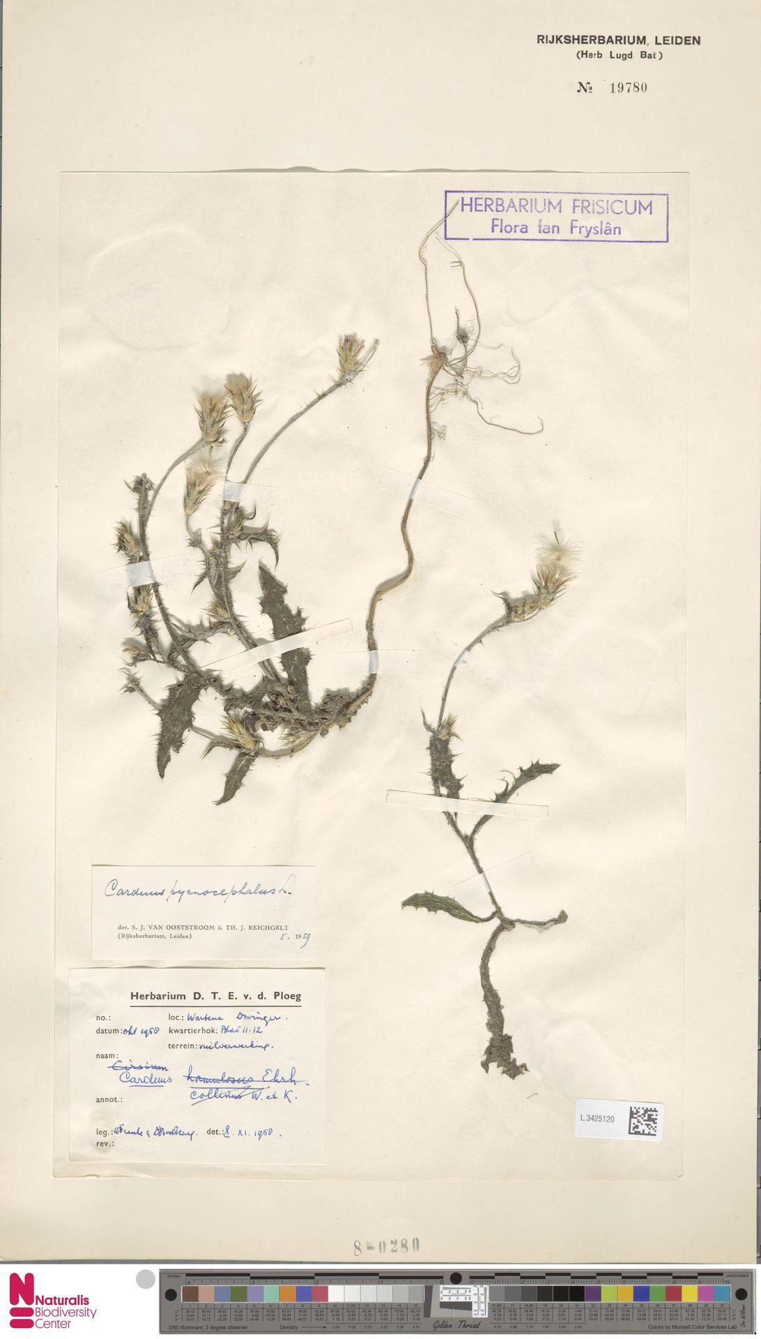 L.3425120 | Carduus pycnocephalus L.