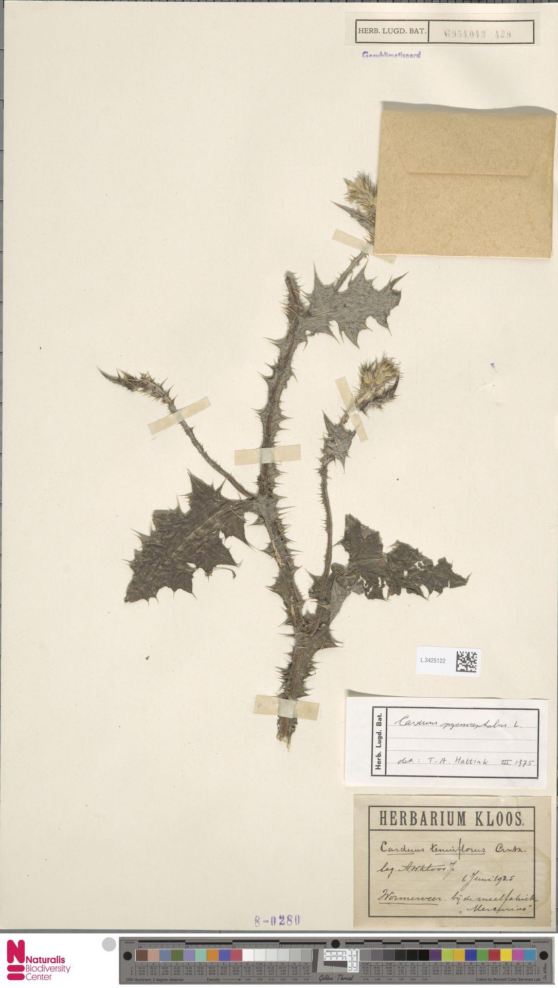 L.3425122 | Carduus pycnocephalus L.