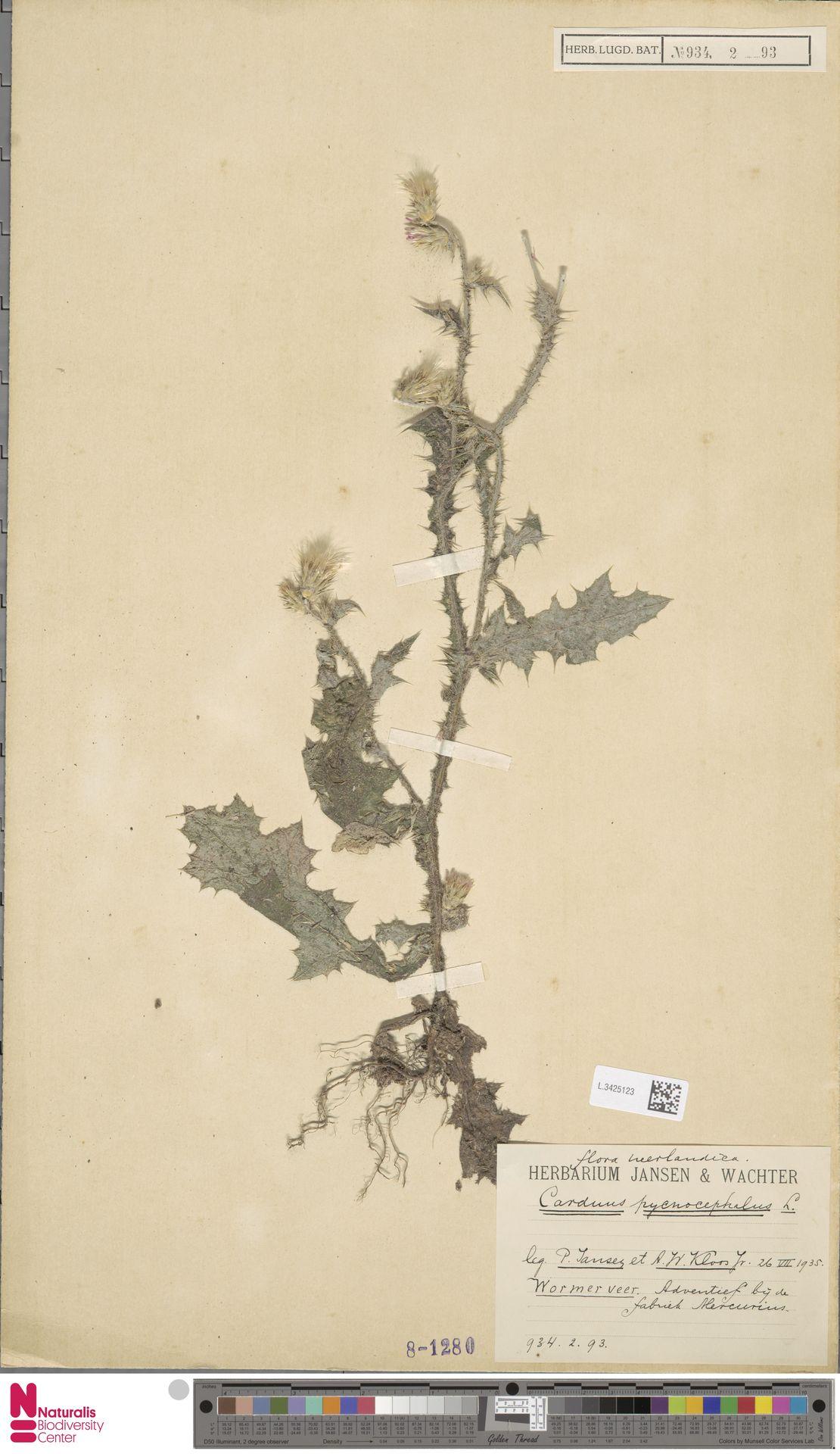 L.3425123 | Carduus pycnocephalus L.