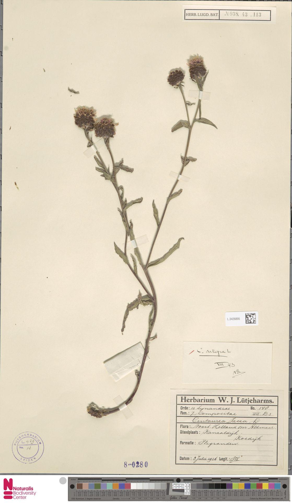 L.3426895   Centaurea nigra L.