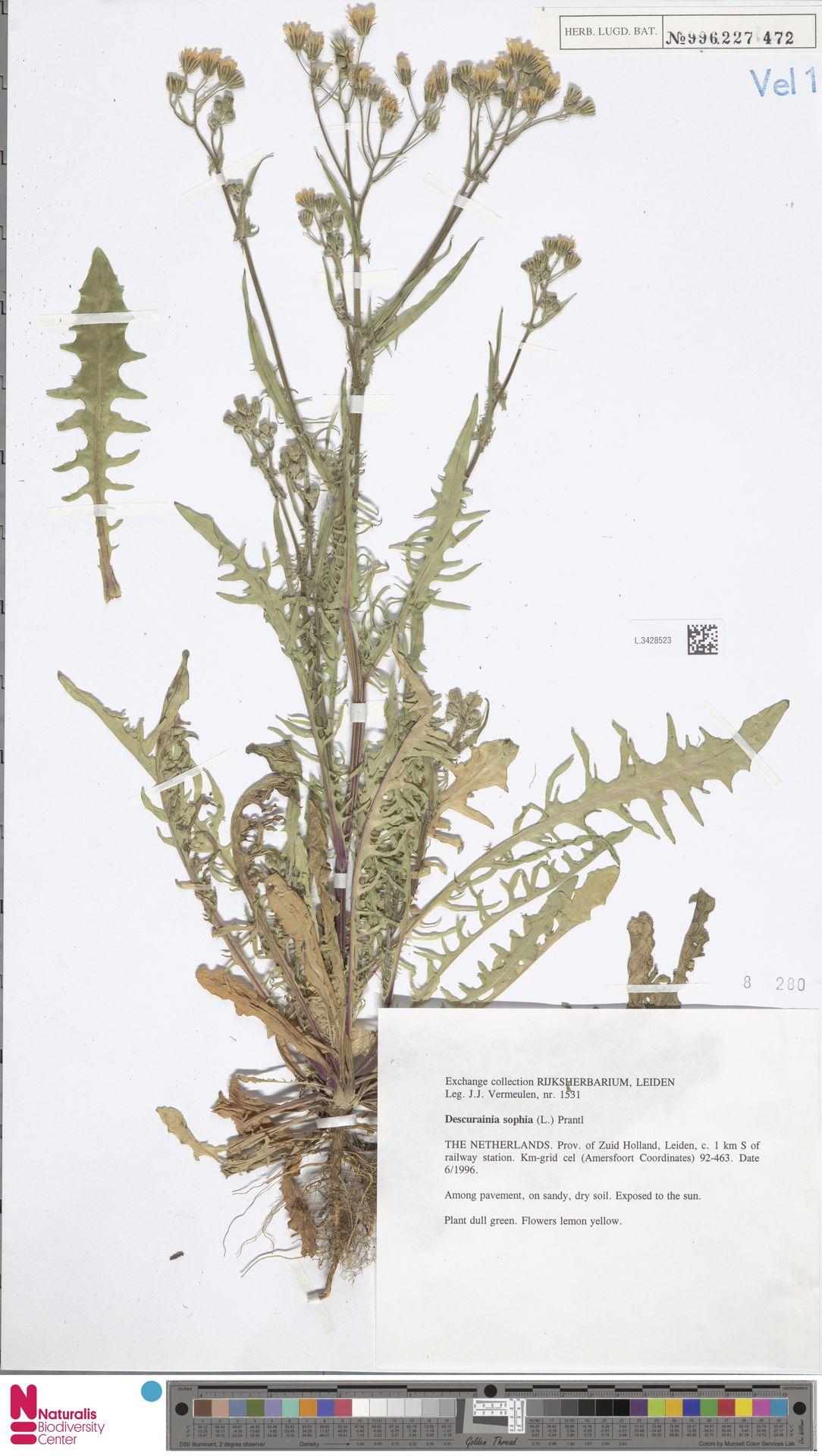 L.3428523 | Descurainia sophia (L.) Webb ex Prantl