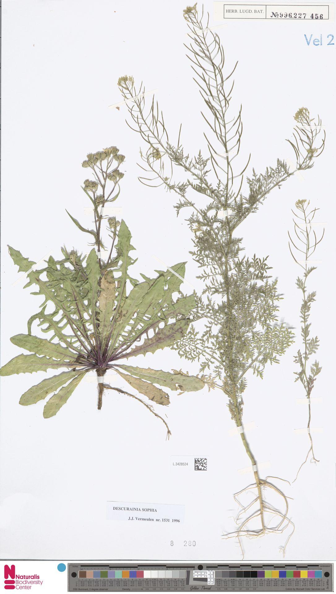 L.3428524 | Descurainia sophia (L.) Webb ex Prantl