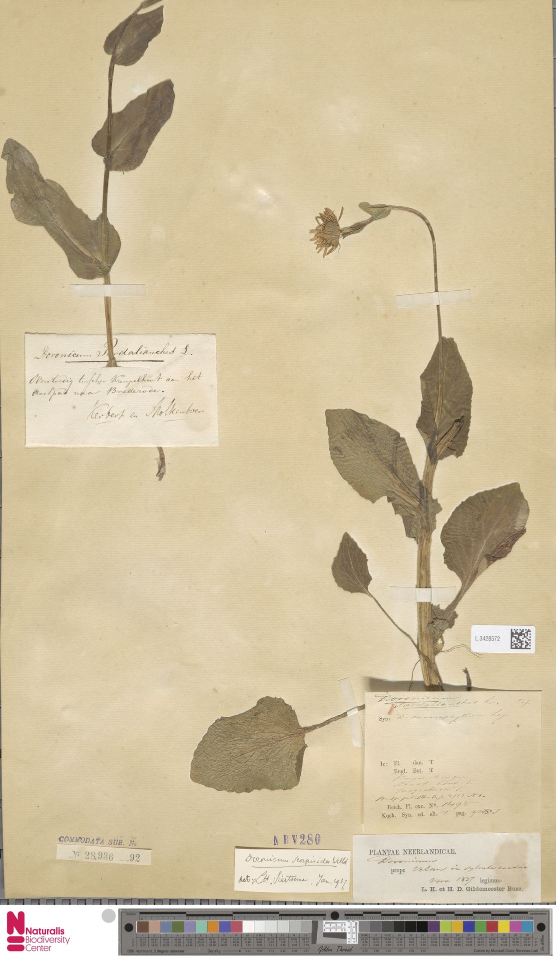 L.3428572 | Doronicum pardalianches L.
