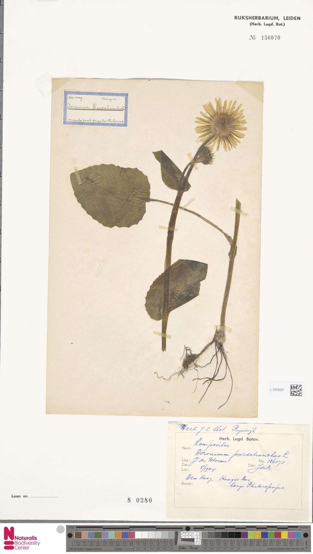 L.3429597   Doronicum pardalianches L.