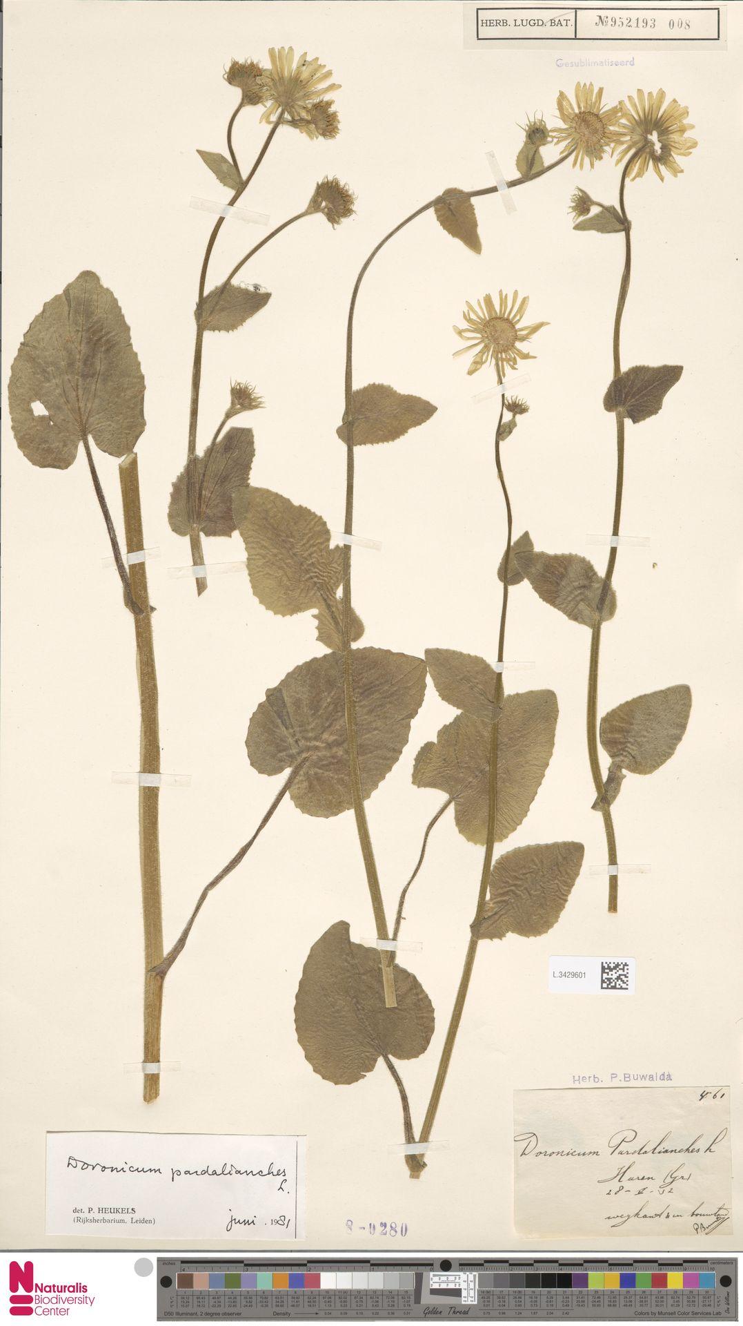 L.3429601 | Doronicum pardalianches L.