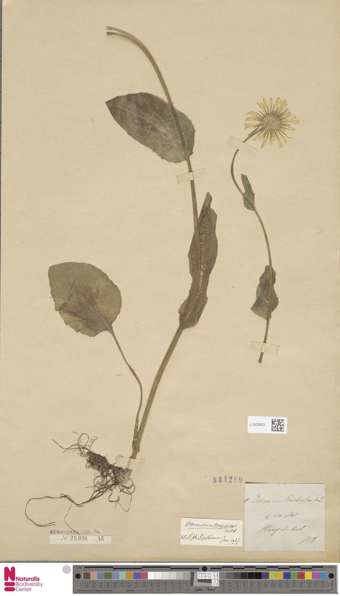 L.3429623   Doronicum pardalianches L.