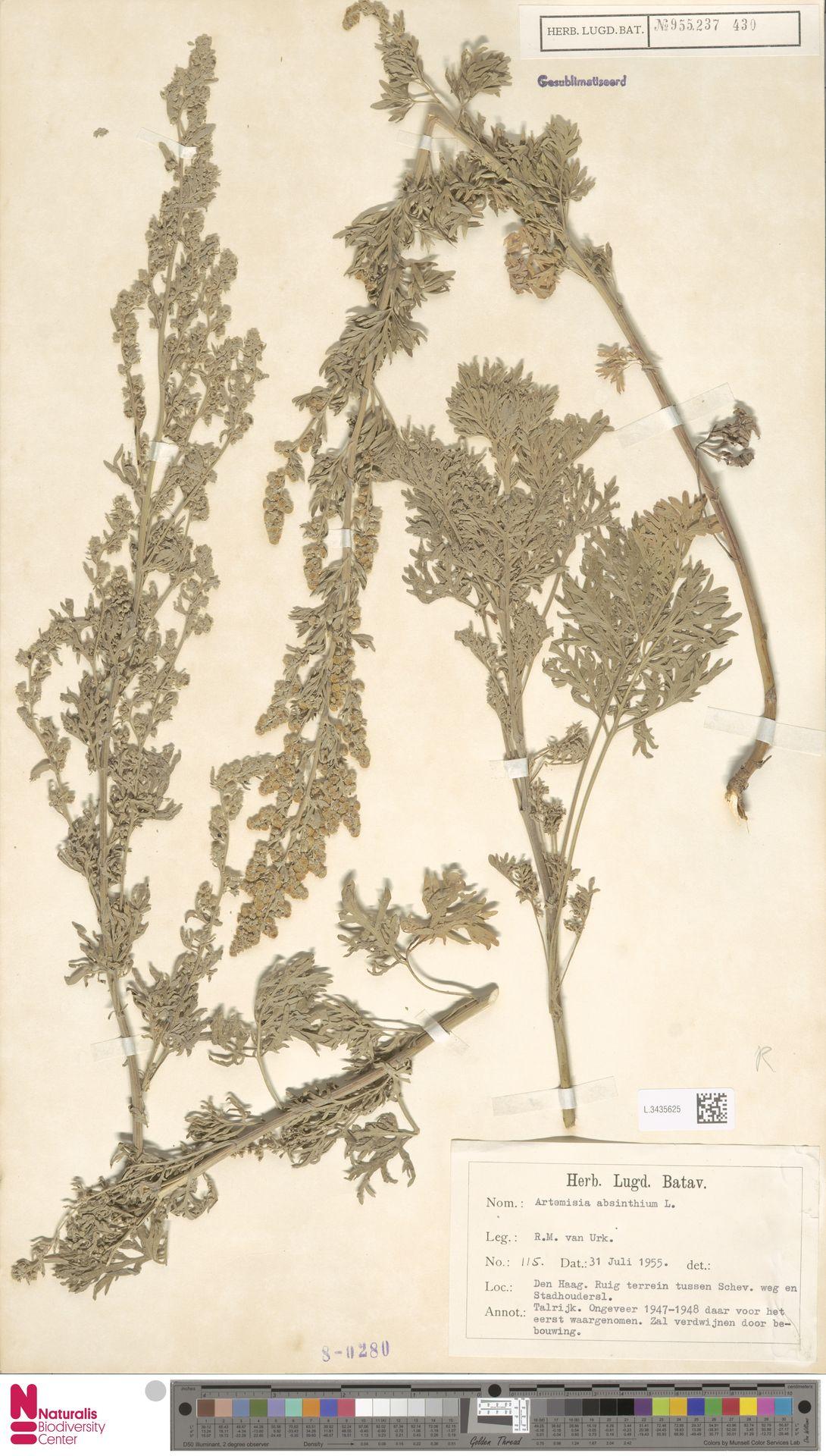L.3435625 | Artemisia absinthium L.