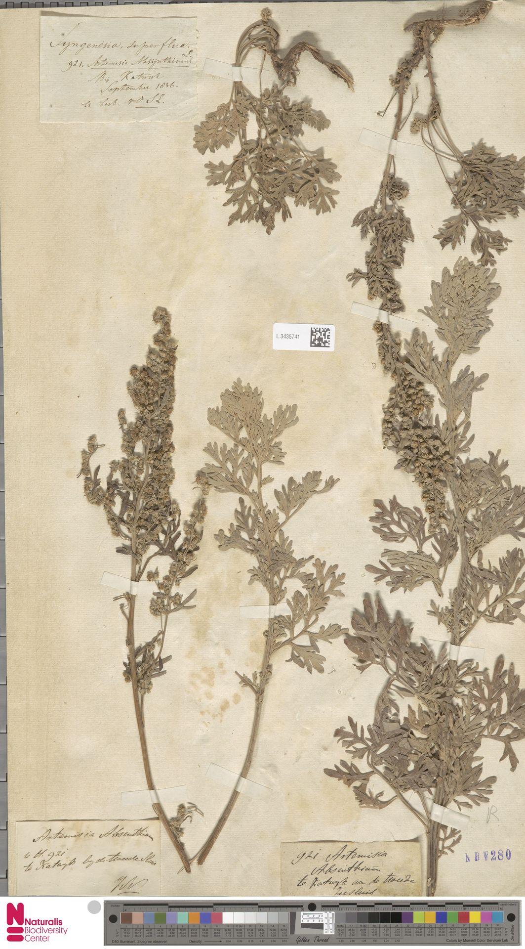 L.3435741 | Artemisia absinthium L.
