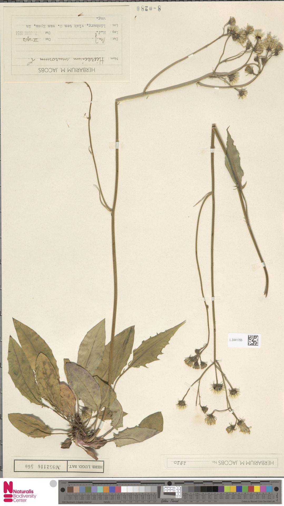 L.3441765   Hieracium murorum L.