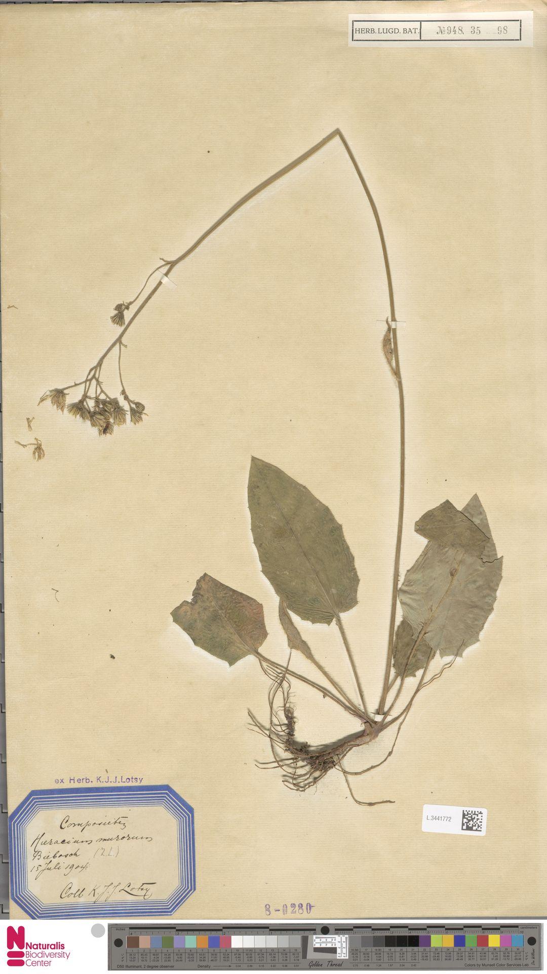 L.3441772   Hieracium murorum L.