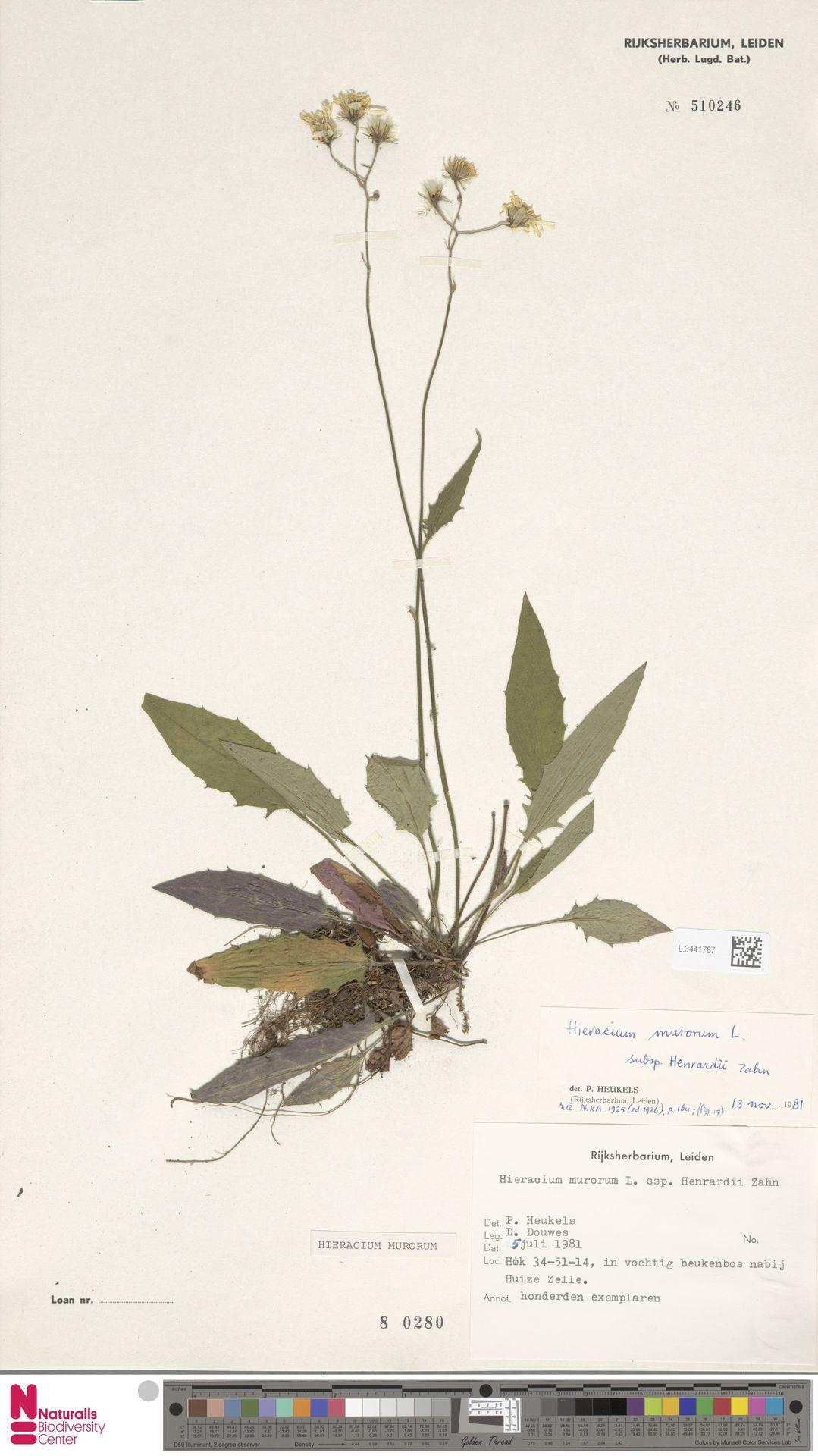 L.3441787   Hieracium murorum L.