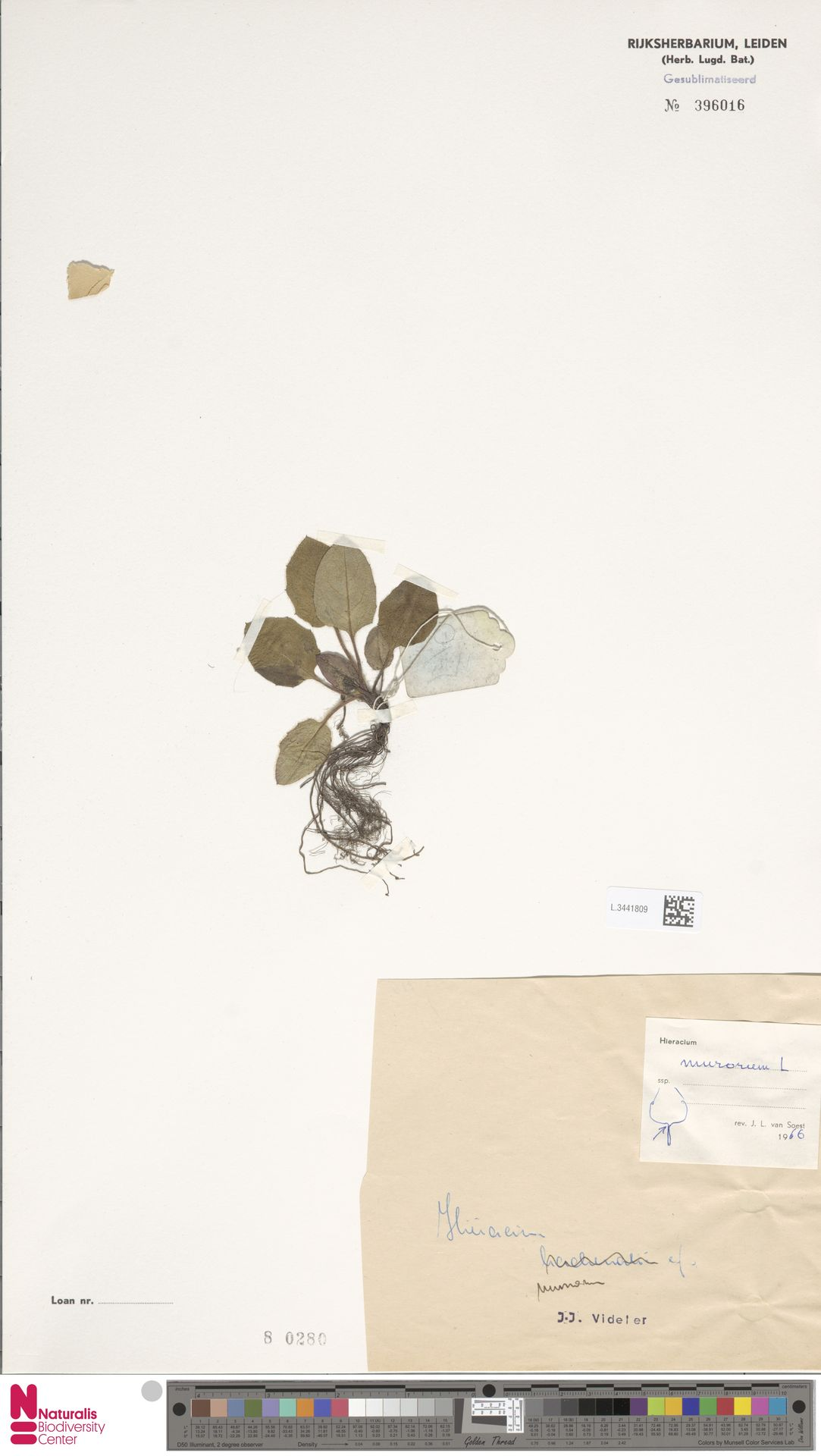 L.3441809 | Hieracium murorum L.