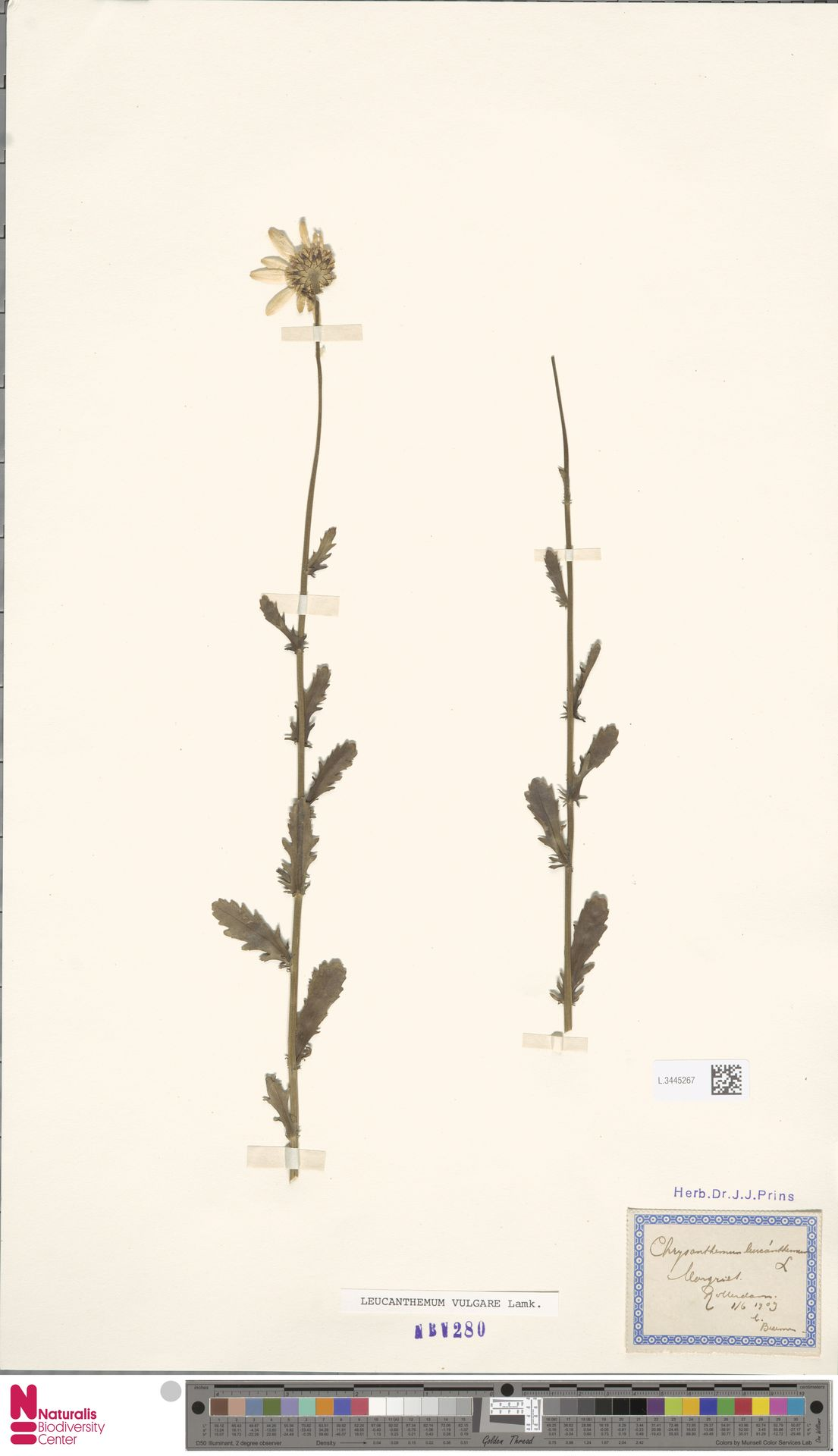 L.3445267 | Leucanthemum vulgare Lam.