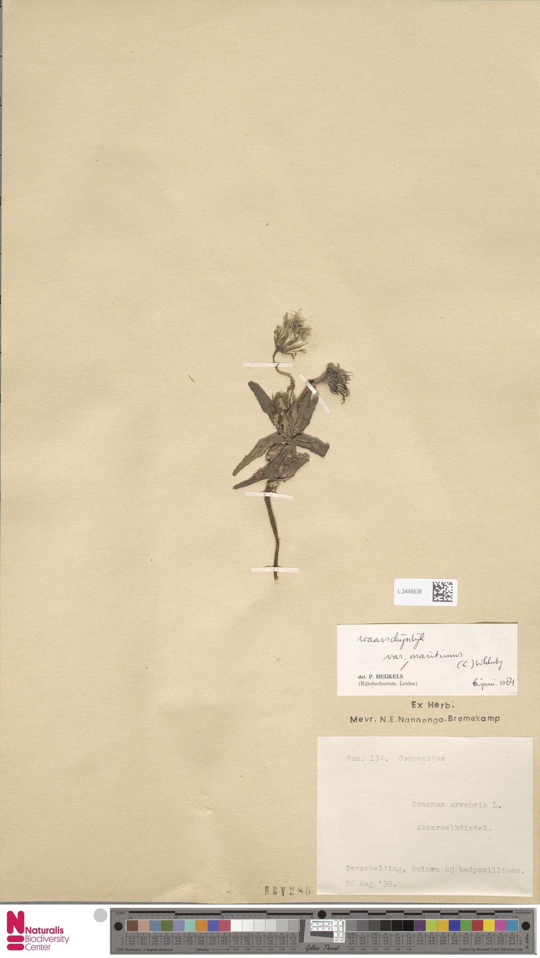 L.3449536 | Sonchus arvensis var. maritimus G.Mey.