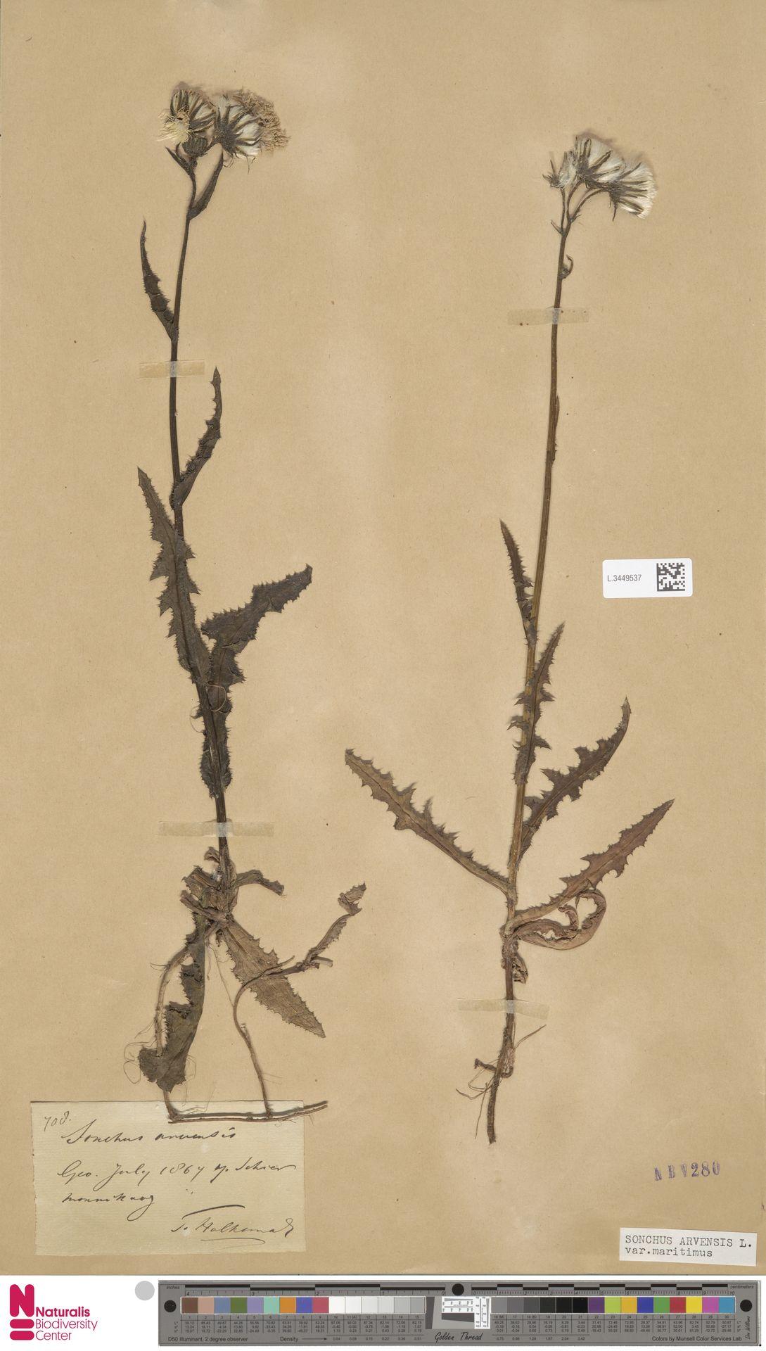 L.3449537 | Sonchus arvensis var. maritimus G.Mey.