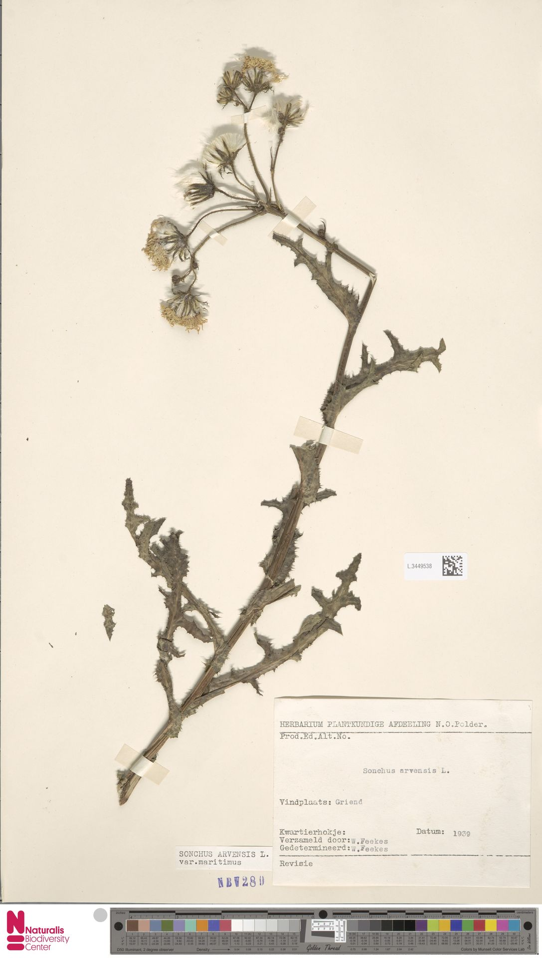 L.3449538 | Sonchus arvensis var. maritimus G.Mey.