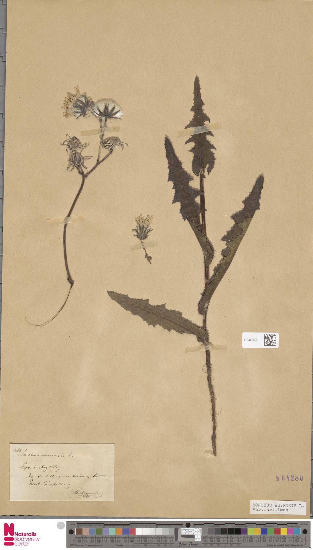 L.3449539 | Sonchus arvensis var. maritimus G.Mey.