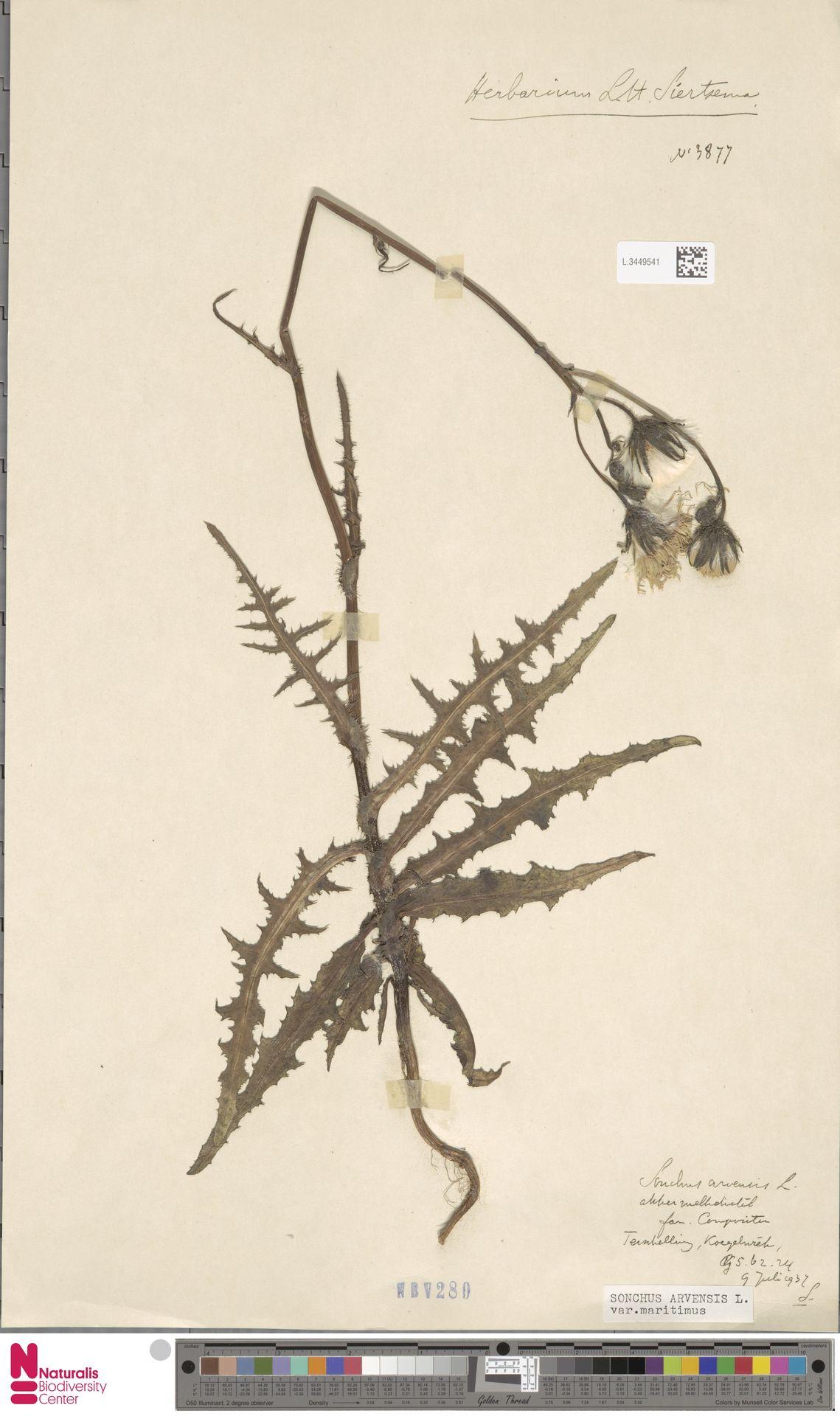 L.3449541 | Sonchus arvensis var. maritimus G.Mey.