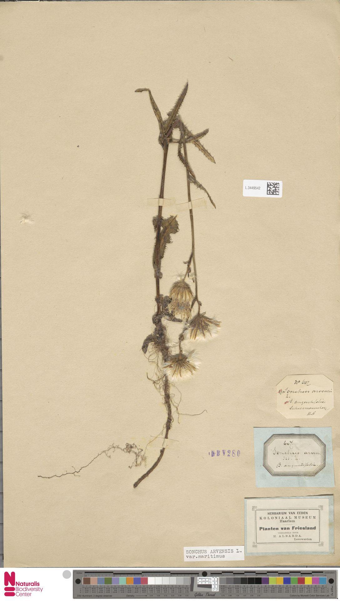 L.3449542 | Sonchus arvensis var. maritimus G.Mey.