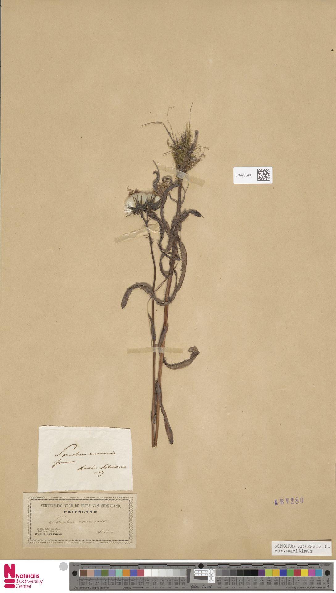 L.3449543 | Sonchus arvensis var. maritimus G.Mey.