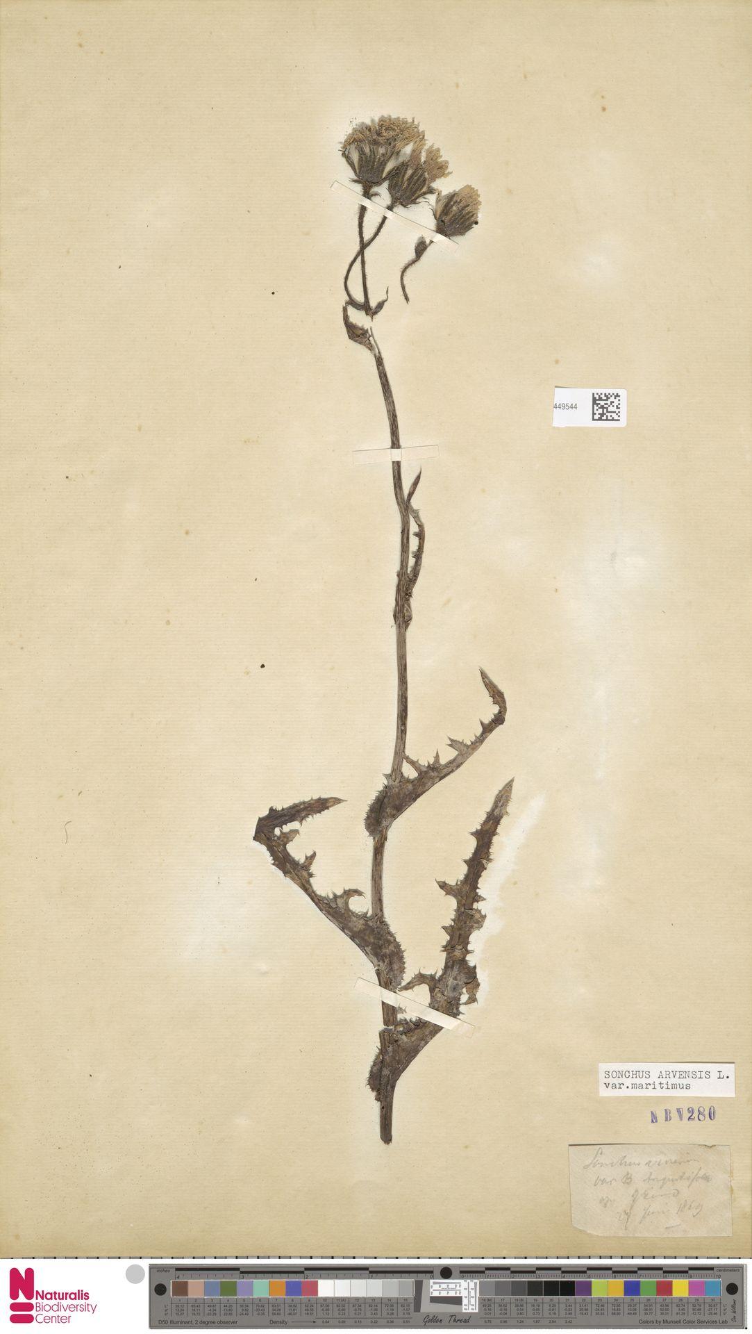 L.3449544 | Sonchus arvensis var. maritimus G.Mey.