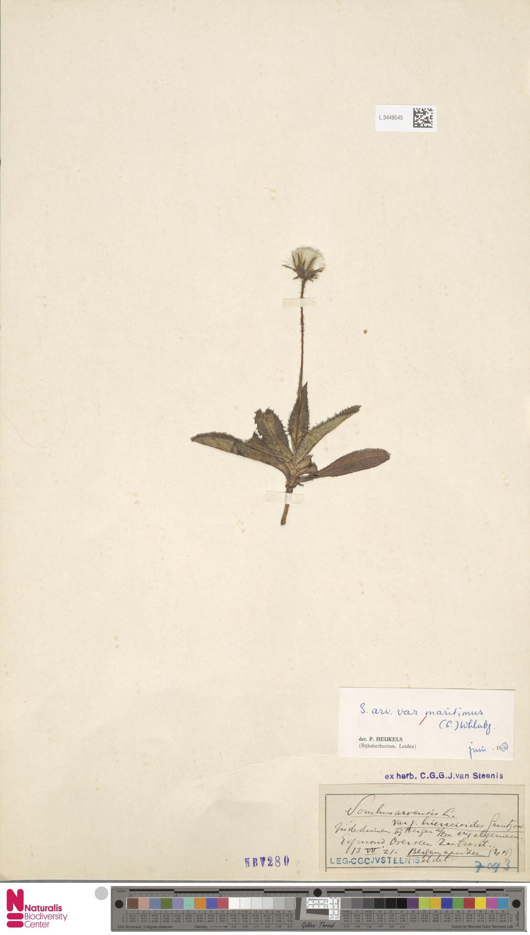 L.3449545 | Sonchus arvensis var. maritimus G.Mey.