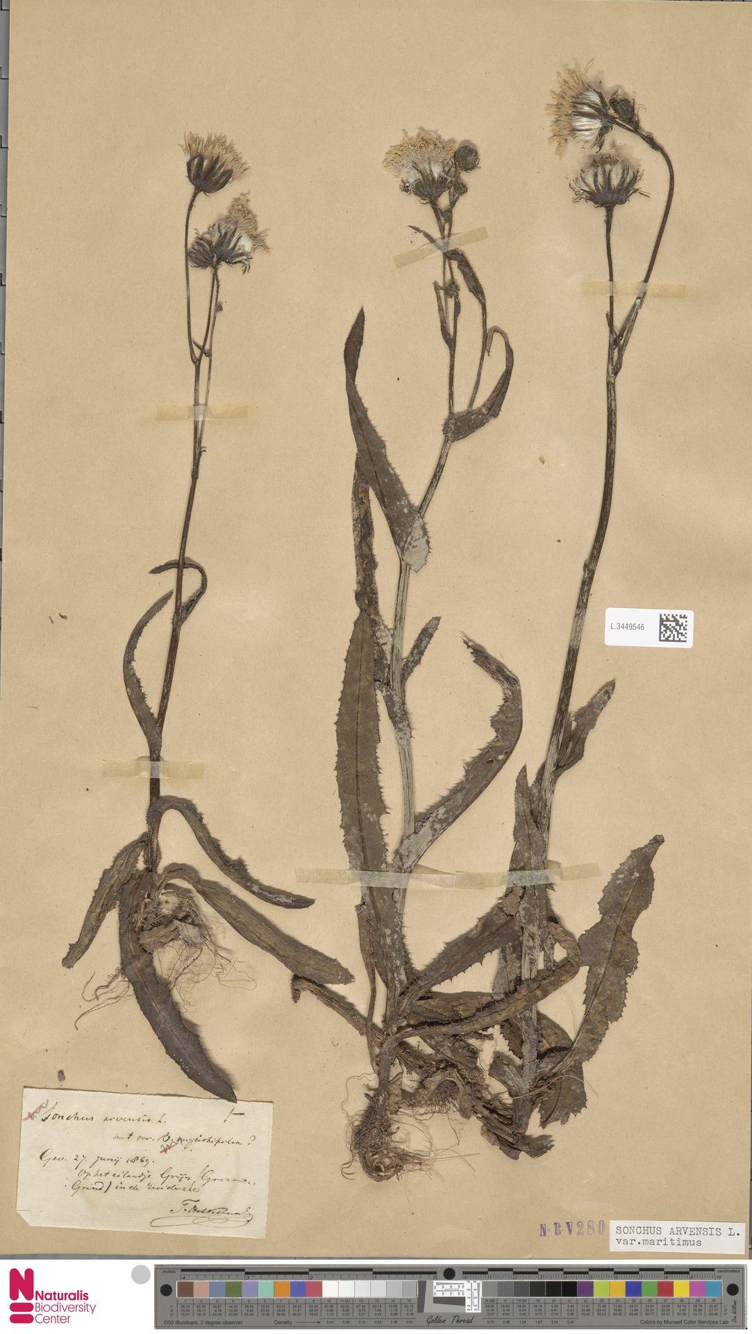 L.3449546 | Sonchus arvensis var. maritimus G.Mey.