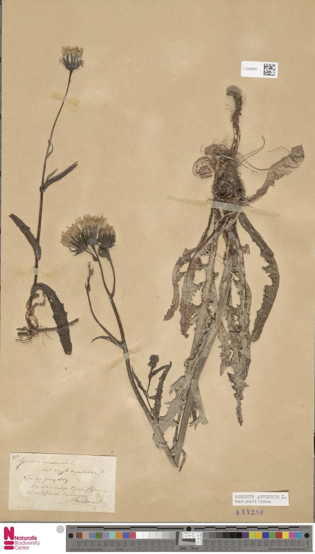 L.3449547 | Sonchus arvensis var. maritimus G.Mey.