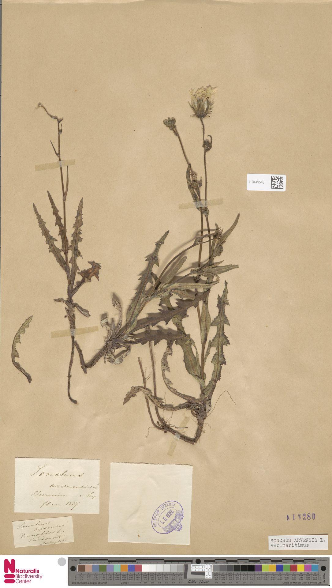 L.3449548 | Sonchus arvensis var. maritimus G.Mey.