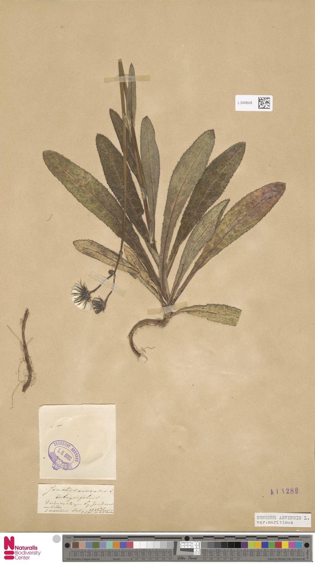 L.3449549 | Sonchus arvensis var. maritimus G.Mey.