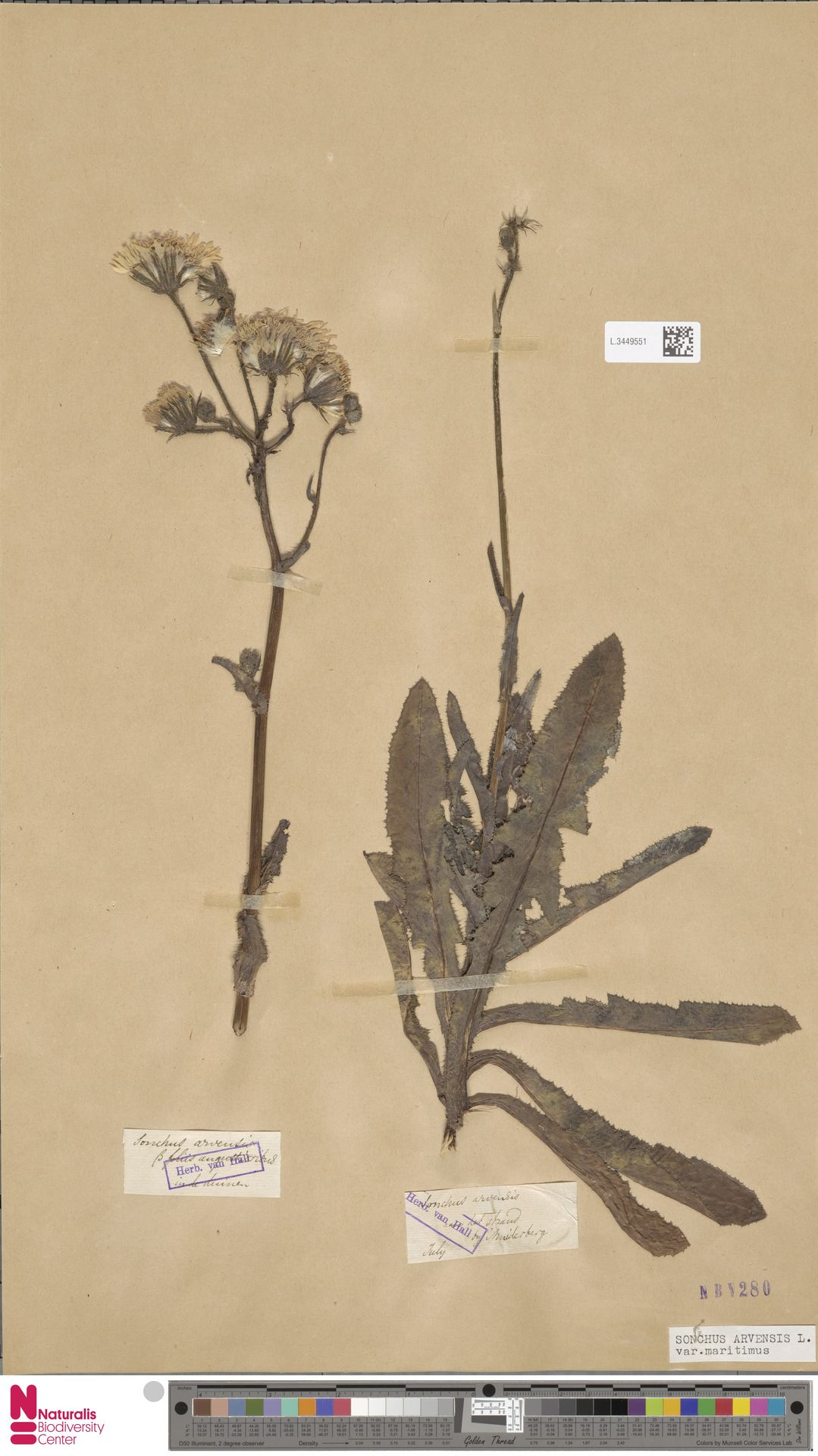 L.3449551 | Sonchus arvensis var. maritimus G.Mey.