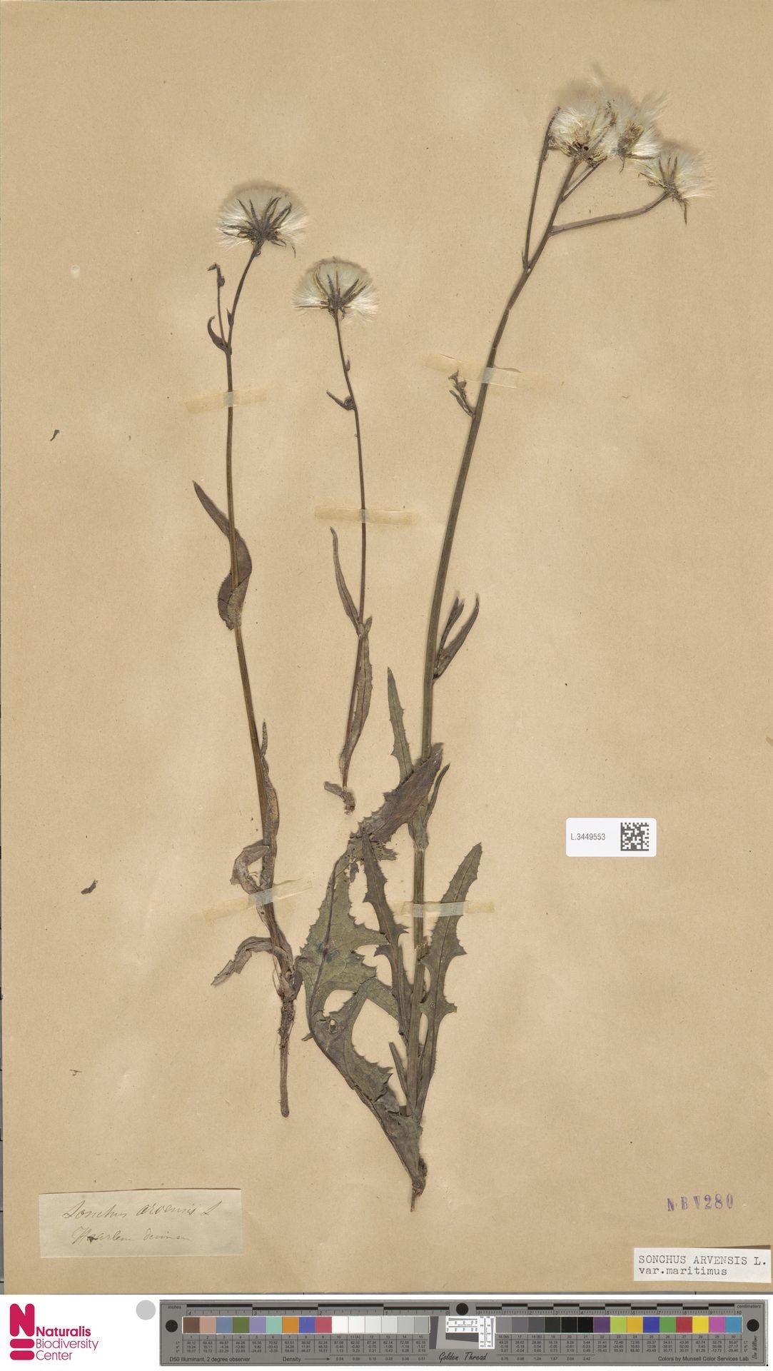 L.3449553 | Sonchus arvensis var. maritimus G.Mey.