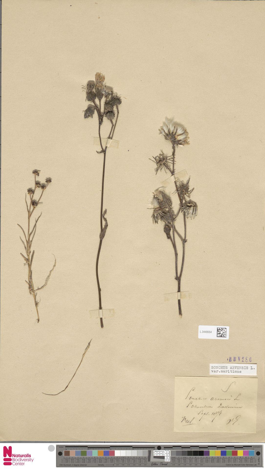 L.3449554 | Sonchus arvensis var. maritimus G.Mey.