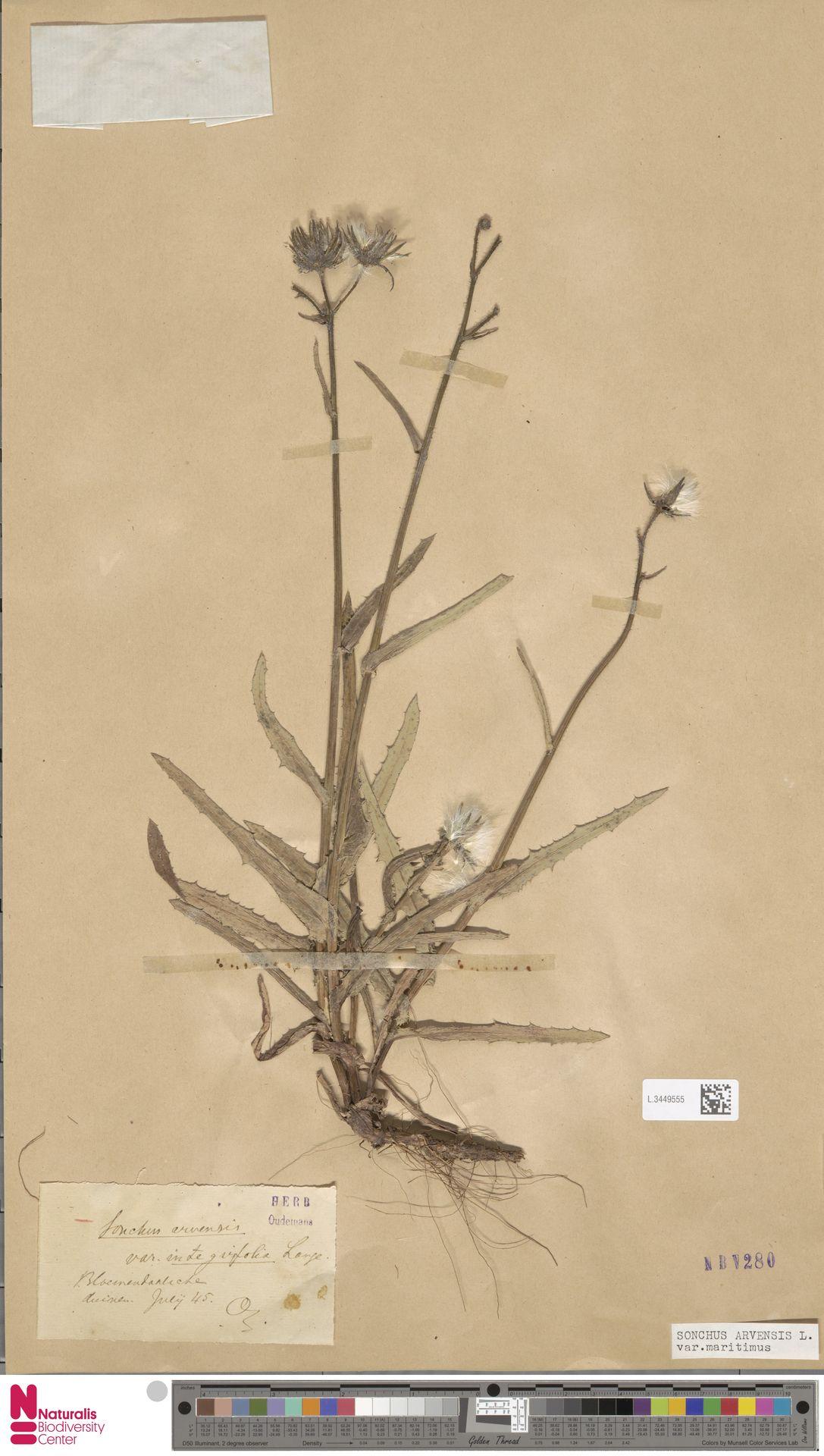 L.3449555 | Sonchus arvensis var. maritimus G.Mey.