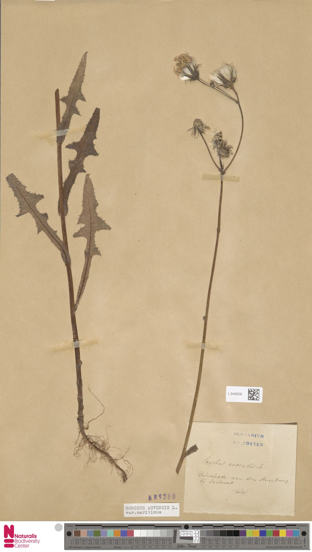 L.3449556 | Sonchus arvensis var. maritimus G.Mey.