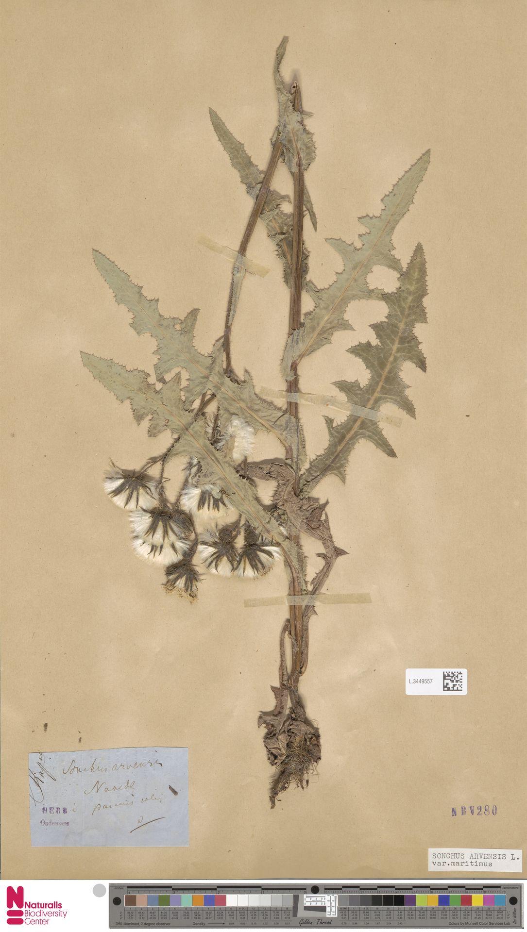 L.3449557 | Sonchus arvensis var. maritimus G.Mey.