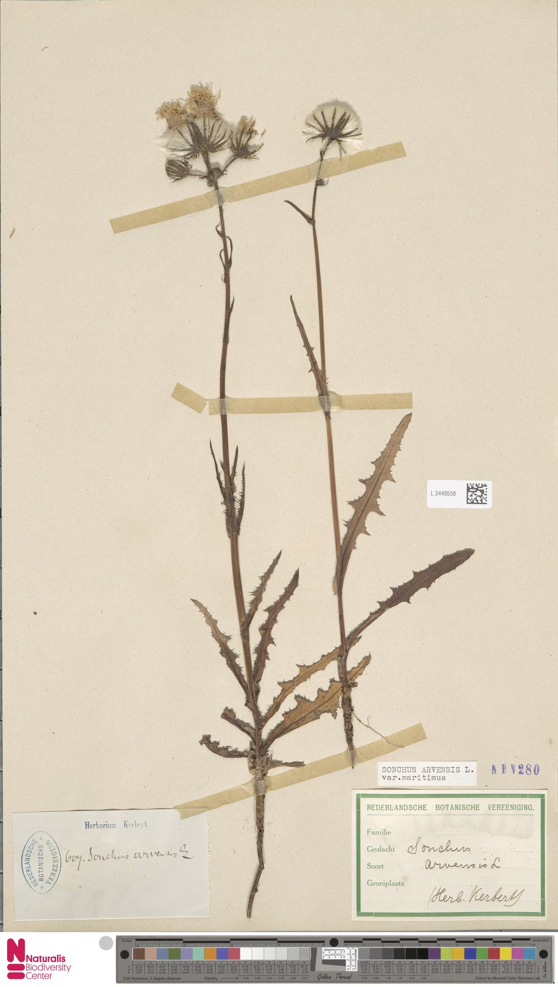 L.3449558 | Sonchus arvensis var. maritimus G.Mey.