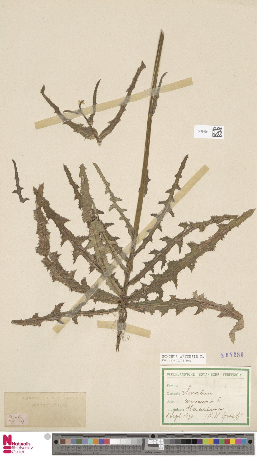 L.3449559 | Sonchus arvensis var. maritimus G.Mey.