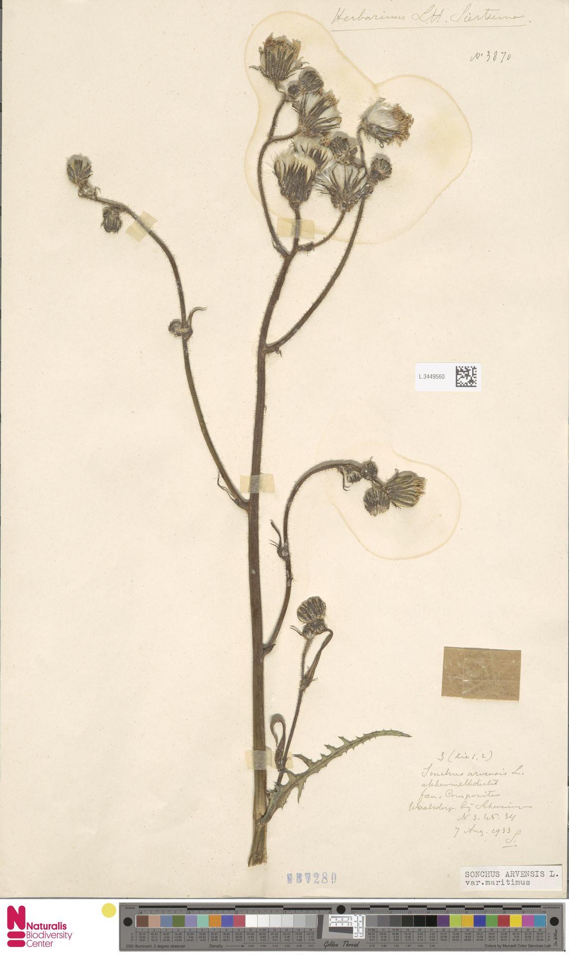 L.3449560 | Sonchus arvensis var. maritimus G.Mey.