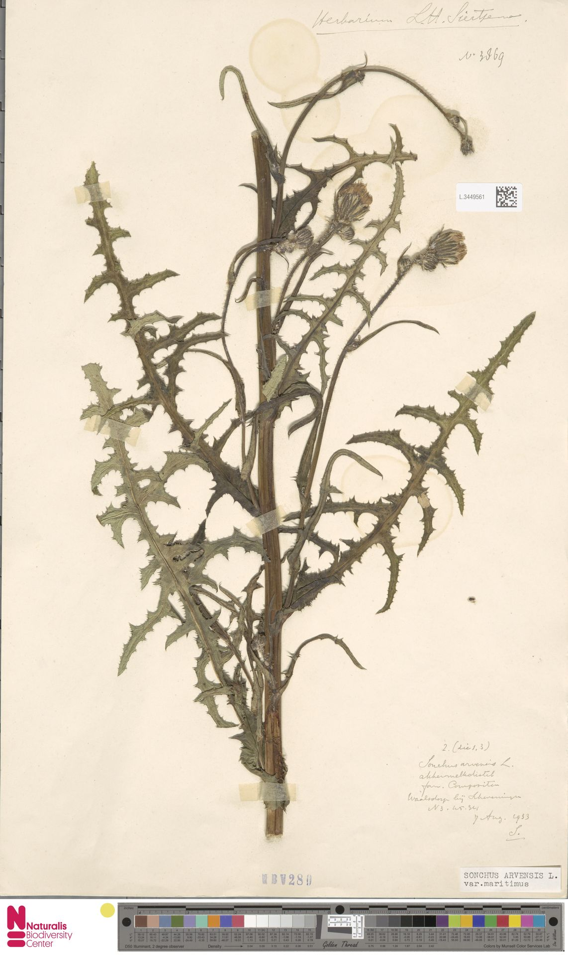L.3449561 | Sonchus arvensis var. maritimus G.Mey.