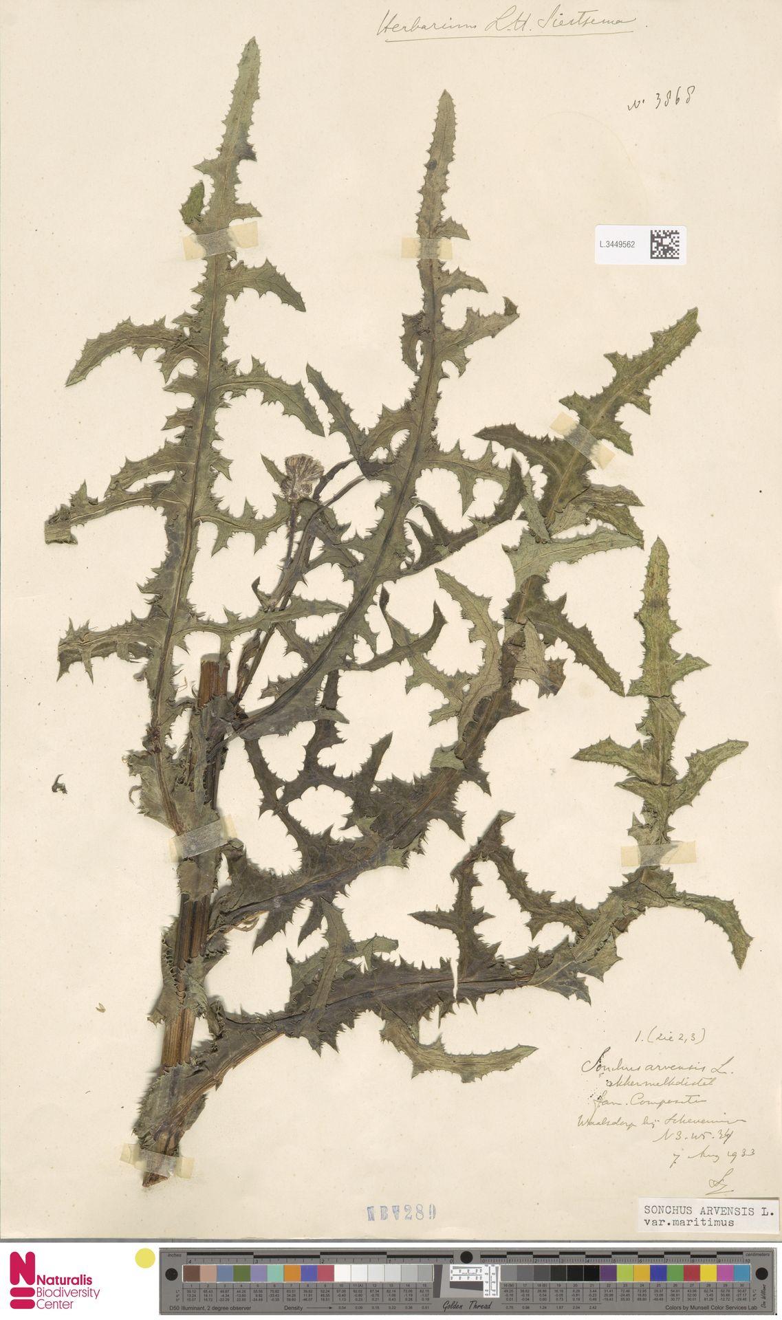 L.3449562 | Sonchus arvensis var. maritimus G.Mey.