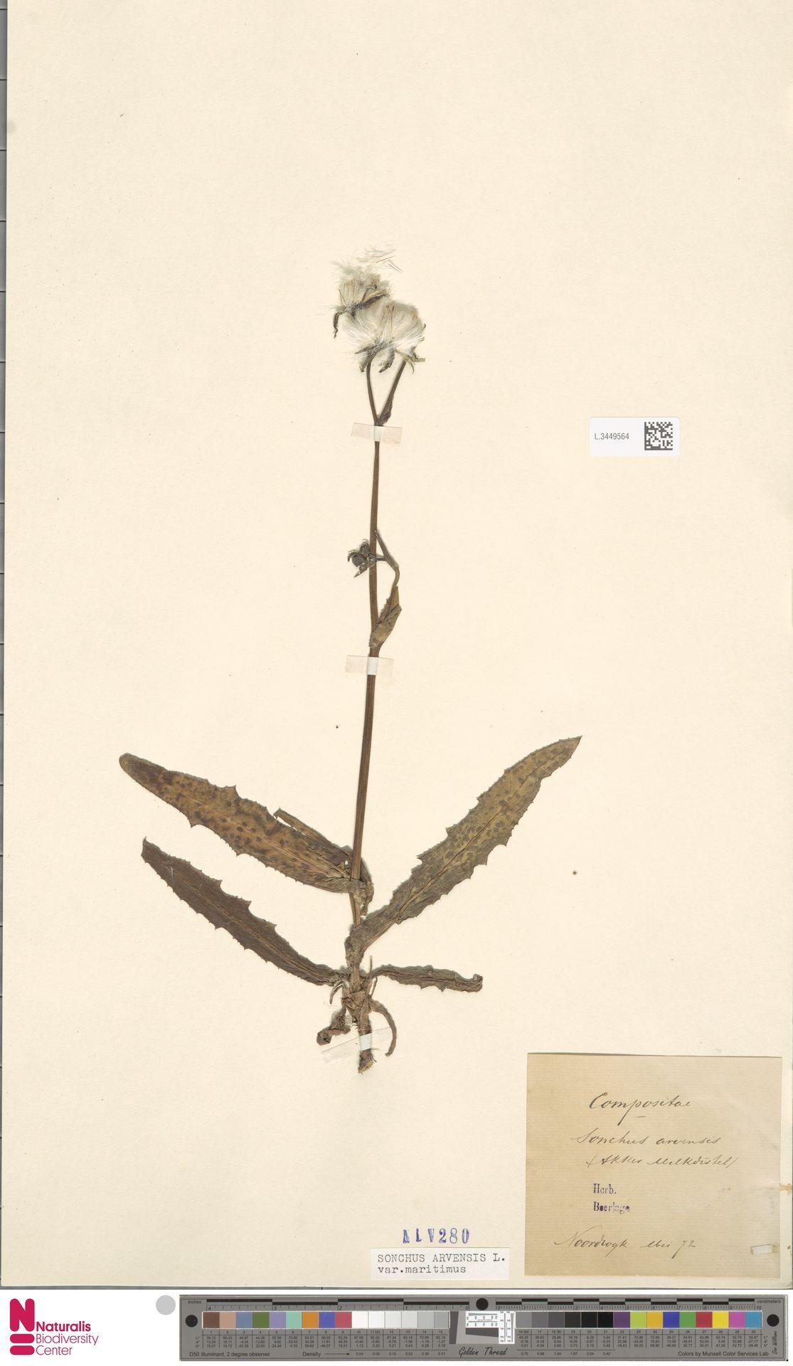 L.3449564 | Sonchus arvensis var. maritimus G.Mey.