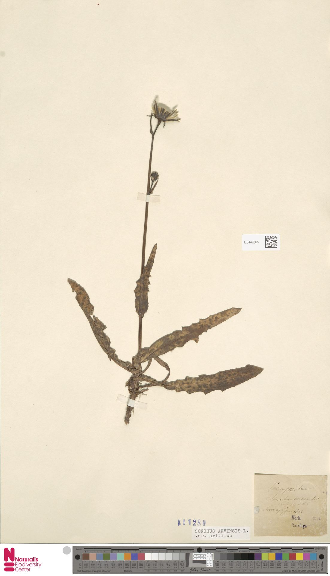 L.3449565 | Sonchus arvensis var. maritimus G.Mey.